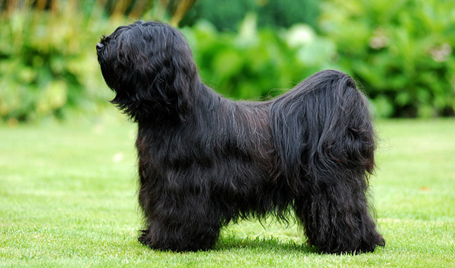 Tibetan Terrier - Information, Photos, Characteristics, Names