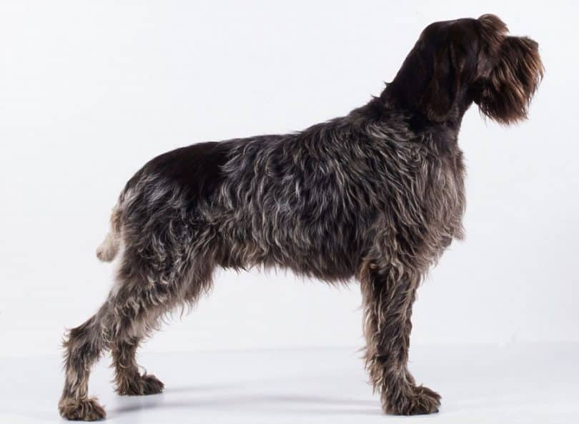 Wirehaired Pointing Griffon: Photo #10
