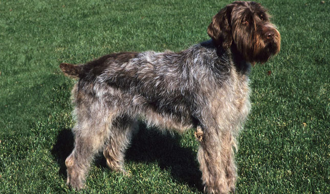 Wirehaired Pointing Griffon: Photo #12