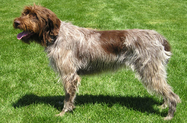 Wirehaired Pointing Griffon: Photo #13