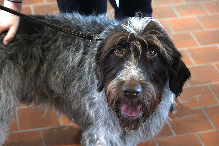 Wirehaired Pointing Griffon: Photo #2