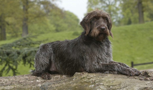 Wirehaired Pointing Griffon: Photo #3