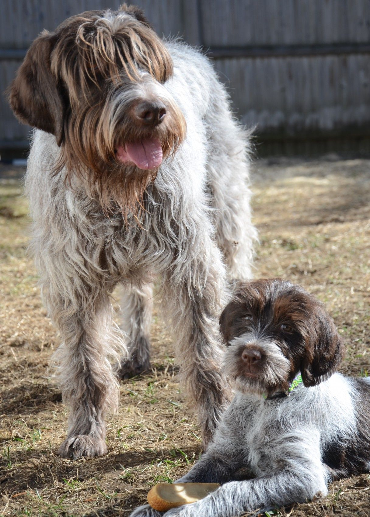 Wirehaired Pointing Griffon: Photo #4