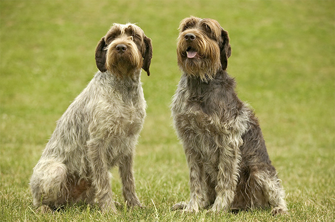 Wirehaired Pointing Griffon: Photo #6