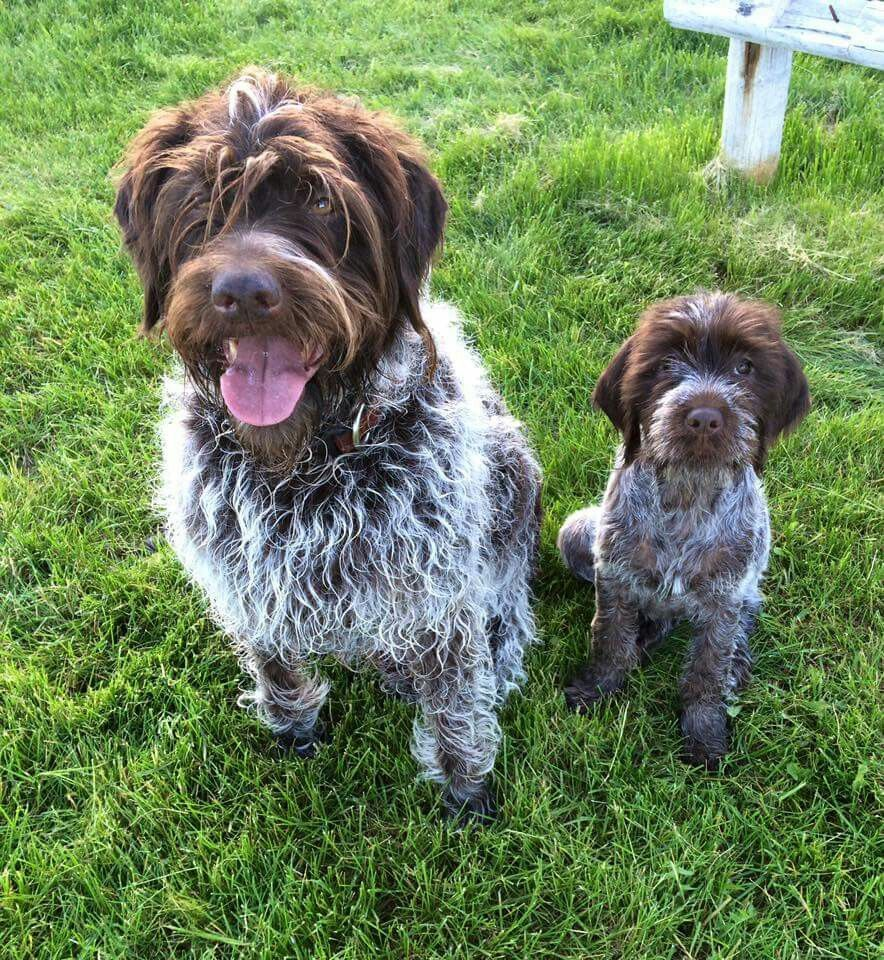 Wirehaired Pointing Griffon: Photo #7