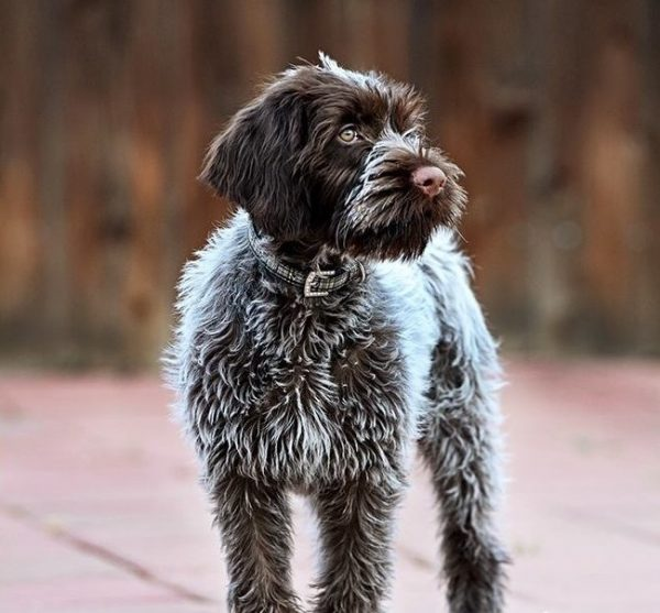 Wirehaired Pointing Griffon: Photo #8