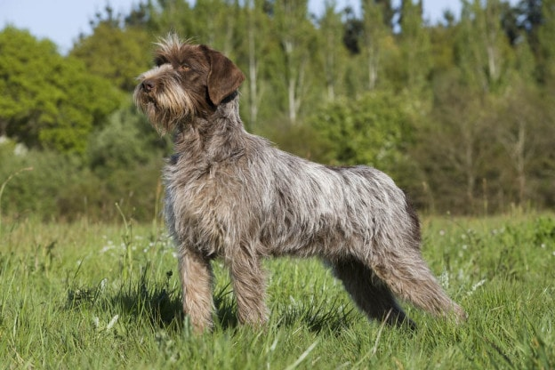 Wirehaired Pointing Griffon: Photo #9
